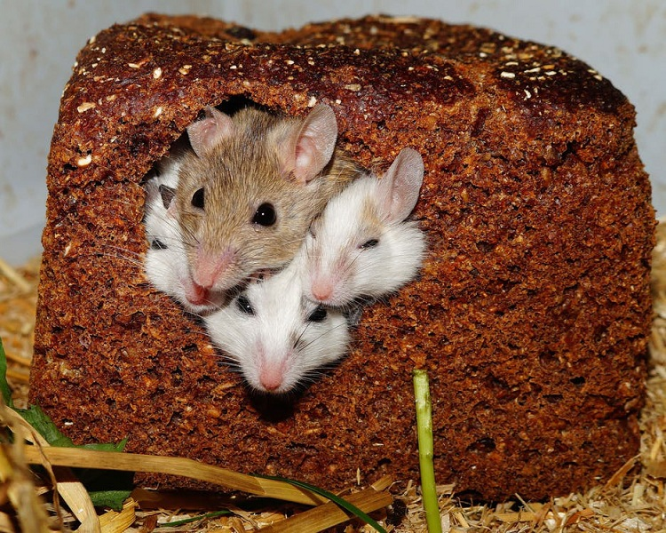 5 Ways to Get Rid Of Rats & Mice