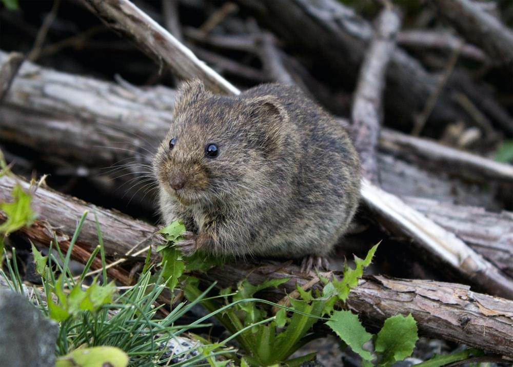 A small rodent perched on a branch eating grass