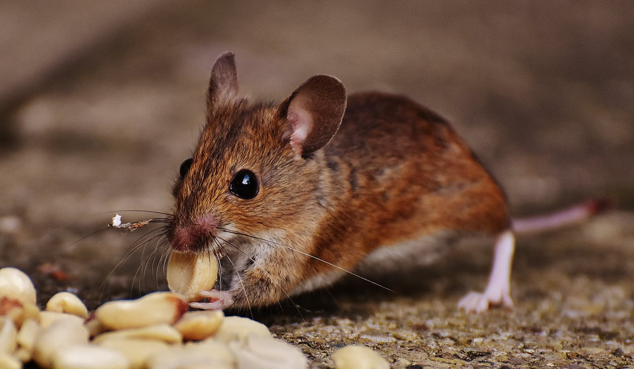 Rodent spotted at restaurant, eating nuts.