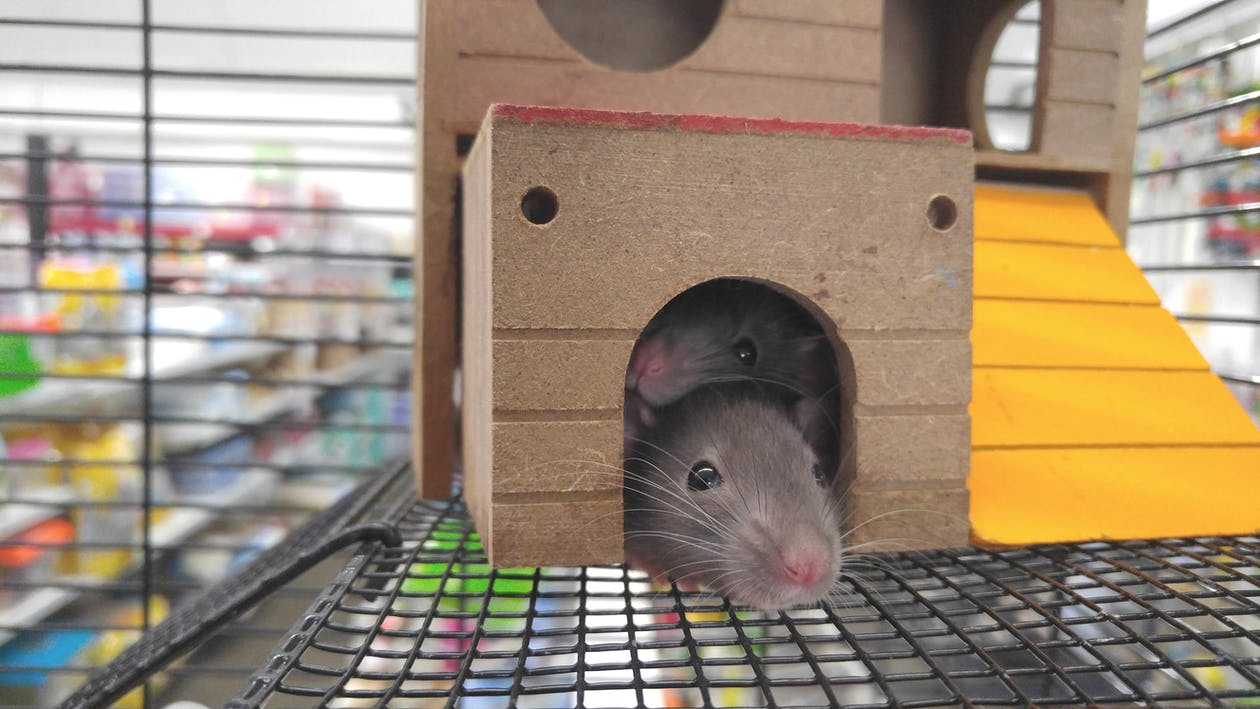 two rodents peeking out from a small toy house